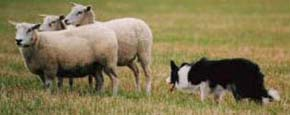 sheep dog trials